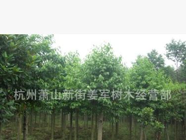 乐昌含笑 基地直销 行道树 各种规格 品种齐全 量大优惠