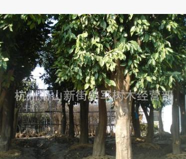 香泡树 大树 行道树 基地直销 各种规格 品种齐全 量大优惠