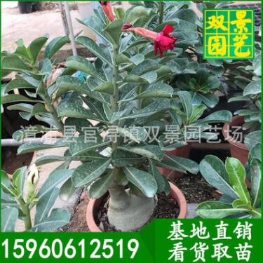货供应 沙漠玫瑰批发 沙漠玫瑰花苗 基地直销 绿色植物盆栽花卉