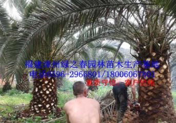 批发漳州加拿利海枣假植苗 福建刺葵海枣杆高100-200cm 物美价廉