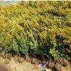 绿化工程 小叶黄杨 大叶黄杨 瓜子黄杨 地被绿化 品种规格齐全
