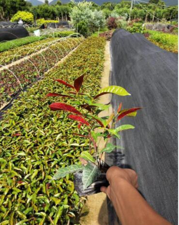 红背桂农户基地直销绿化地被苗 工程绿化苗