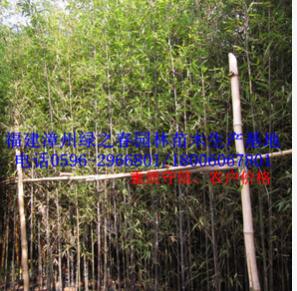 批发福建紫竹墨竹乌竹地径1-5公分高1-5米 漳州基地农户清场出售