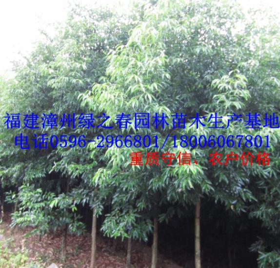 福建全冠天竺桂地苗袋苗胸径5-10公分 漳州农户价格清场出售
