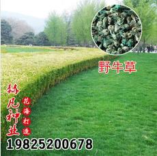 供应草坪种子野牛草 野牛草草籽 园林工程护坡草坪耐践踏成活率高