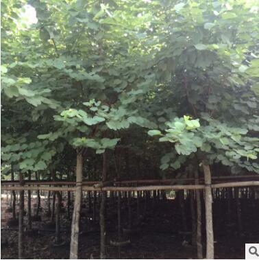 产地长期供应 常绿乔木 基地直销 12公分宫粉紫荆袋苗
