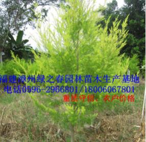 福建黄金香柳袋苗高1-2米 漳州千层金黄金宝树基地 清场出售