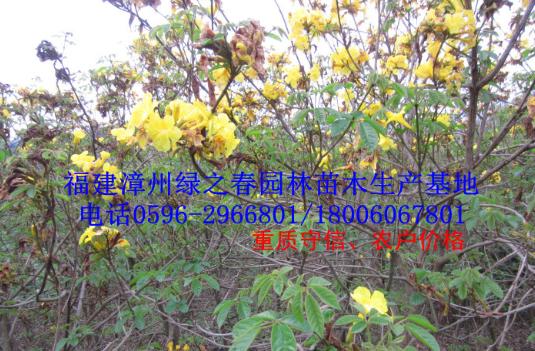 批发绿化苗木袋苗 黄花风铃木胸径3-5公分 福建漳州基地倾销