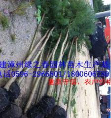 绿化苗木乔木 蓝花楹胸径3-5公分 福建漳州基地蓝花楹倾销