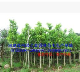 白玉兰袋苗假植苗 玉兰花胸径5-8公分 福建漳州基地倾销