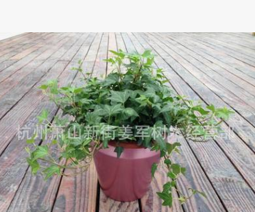 常春藤 爬藤植物 基地直销 凌霄 紫藤 各种规格 品种齐全