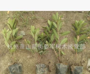 杜鹃 盆栽 毛鹃球 紫鹃 夏鹃 各种规格 品种齐全 量大优惠