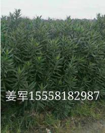 夹竹桃 植物批发价格花卉大量供应水生植物 基地直销