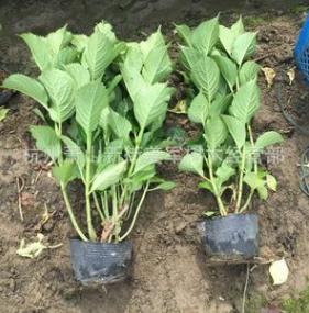 八仙花 盆栽 各种规格 无尽夏 颜色齐全 基地直销 量大优惠