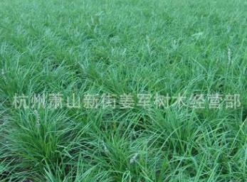 麦冬草 基地直销 各种规格 品种齐全 量大优惠