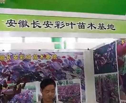 专访彩叶苗木种植专家--安徽长安彩叶苗木基地 (547播放)