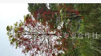 批发漳州澳洲火焰木袋苗 福建基地10-15公分澳洲火焰树 精品