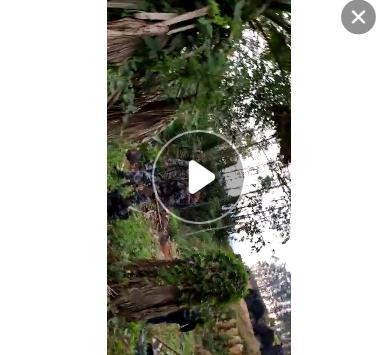 基地批发 华棕 热带棕榈植物园华棕 江西浙江湖南老人葵华棕