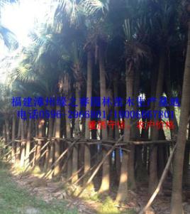 特选福建蒲葵假植苗头径20-40高6-12米 漳州棕榈科研究基地