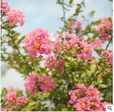 绿化乔木百日红 花卉苗木 园林庭院绿化苗木 厂家直销品 质保证