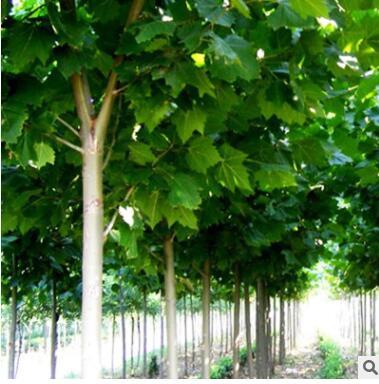 厂家直销 品质保证 绿化乔木法桐树 规格齐全 品质保证 法桐树