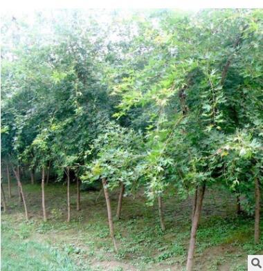批发五角枫树苗工程绿化苗木五角槭苗 五角枫树苗 园林观赏植物
