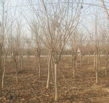 紫荆树苗丛生庭院大型花卉开花风景树耐寒绿化工程苗南北方种植