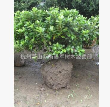 夏鹃球 各种规格 盆栽 各种规格 基地直销 品种齐全 量大优惠