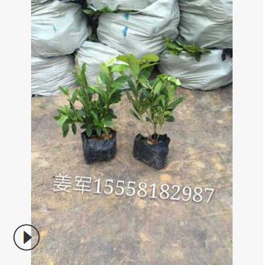 杜鹃 盆栽 各种精品球类 品种齐全 价格优惠 毛娟球