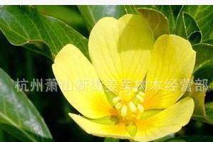 中华萍蓬草 水生植物 基地大量供应批发价格 千屈菜