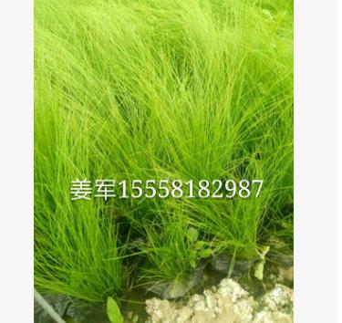 细茎针茅 草花地被 水生植物 批发价格和全国大量供应