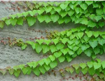 爬山虎 基地直销 爬藤植物 适用于庭院别墅 常春藤