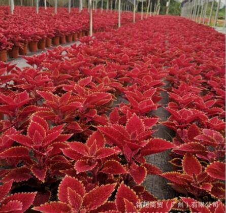 基地批发直销大红色彩叶草工程绿化植物墙喜阳耐寒观赏花卉小盆栽