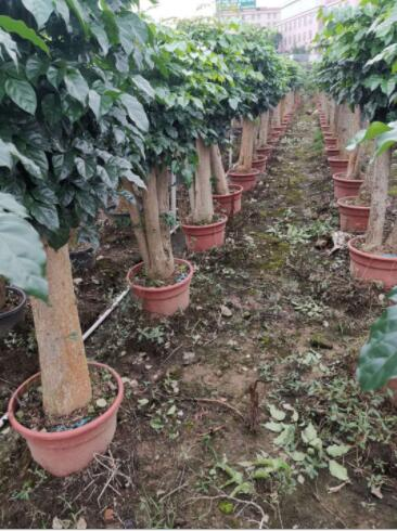 基地直销批发 优质6-15公分绿宝幸福树庄盆栽绿植