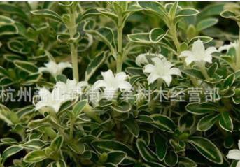 六月雪 基地直销 各种规格 茶梅 红花继木 红叶石楠 大量供应