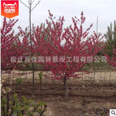 绿化树花灌木 紫叶桃红叶碧桃 红叶碧桃树苗庭院观赏批发量大优惠