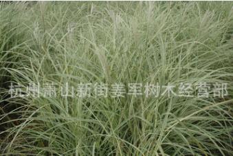 花叶芒 水生植物 基地直销 话也芦苇 蒲苇 品种齐全 量大优惠