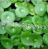香菇草 水生植物 基地直销 各种规格 量大优惠 品种齐全