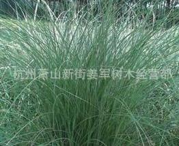 细叶芒 草花地被 水生植物大量批发供应 基地批发价格 量大优惠