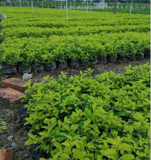 黄金叶盆栽基地直销 黄金叶 袋苗批发 园林绿化 景观绿化工程供应
