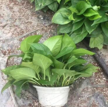 绿萝盆栽室内吸除甲醛水培植物办公室绿植花卉盆栽吊兰绿萝批发