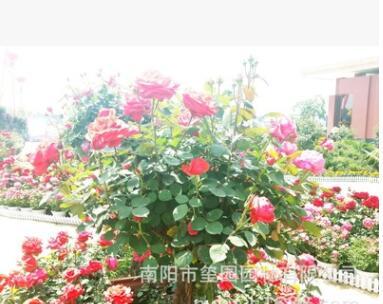 南阳玺园园林大量批发庭院别墅美化盆景月季小区绿化种植盆景月季