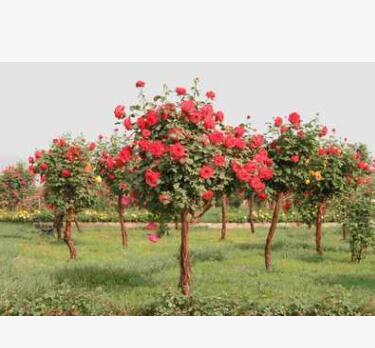 南阳玺园园林 批发供应树状月季 月季花 价格优惠