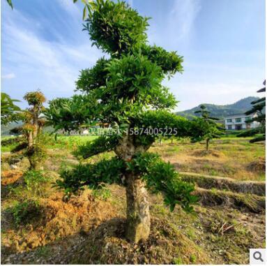 基地直销 造型椤木石楠桩景批发 常规苗 二级 园林景观绿化工程