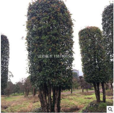 基地直销 造型椤木石楠柱批发 柱形椤木石楠 园林景观绿化工程