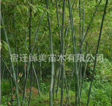 直销竹子 紫竹 青竹 园林绿化苗木庭院种植观赏