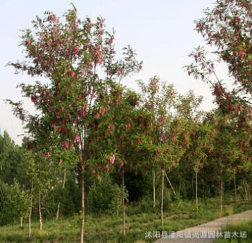 基地直销 供应大量优质香花槐苗木