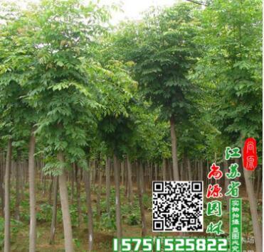 绿化苗木基地大量现货供应 优质刺槐树苗 刺槐小苗