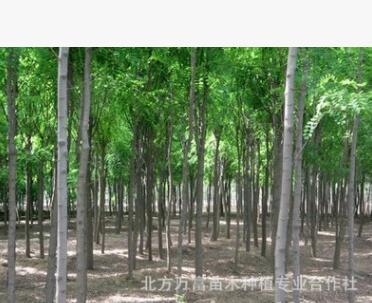 杨树苗批发 优质杨树苗 精品易成活杨树苗