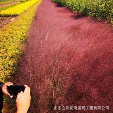 粉黛乱子草 观赏草 青州花卉基地直销 多年生暖季型草本